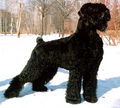 Black Russian Dog Pictures